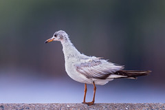 , Common Black- headed Gull, Larus ridibundus (Emu Alim) Tags: bangkok gitzo larusridibundus commonblackheadedgull nikond4 afsnikkor600mmf4efledvr