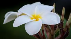 D7100__DSC6365a-4x6x300dpi (ddrg) Tags: whiteflower chandleraz nikonafs300mmf4 nikond7100