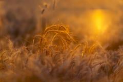 El comienzo del verano (josechino2424) Tags: sol atardecer verano campo trigo josechino2424