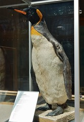 King Penguin (mikecogh) Tags: stuffed oxford tall pittriversmuseum kingpenguin