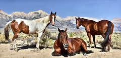 Gawkers (armand.gerstenberger) Tags: ifttt 500px alabama hills horse stallion trio california rt 395 lone pine mt whitney nikon d810 armand gerstenberger roadtrip travel us west wild ranch