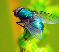 blowfly (grahamd4) Tags: