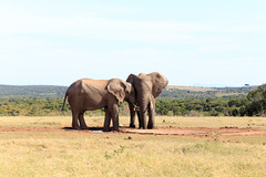 Your my Mate - African Bush Elephant (charissadescande) Tags: park travel wild elephant game male nature animal southafrica addo mammal big bush natural african wildlife large reserve conservation safari national trunk endangered easterncape tusk zaf