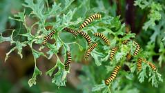 The munch bunch (SteveJM2009) Tags: uk summer feeding july dorset caterpillars bournemouth stevemaskell 2016 ragwort cinnabarmoth tyriajacobaeae explored