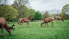 Wollaton Park Deers (Richard James Wiggins) Tags: temp nottingham walking weekend deers wollaton deerpark countryhouse wollatonhall