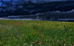 Contrasts (Jan7411) Tags: weather thunderstorm wetter unwetter gewitter sommerblumen sommerwiese kontraste mohn kornblume magheriten feld korn kornblumen hdr