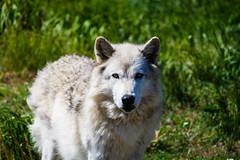 Golden [Explore] (Noah L. Photography) Tags: white nature grey eyes wolf wildlife gray yellowstone timberwolf westyellowstone