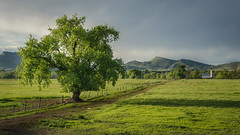 the welcoming tree (andy_8357 (mostly away)) Tags: farm farmland green sunlight late afternoon peaceful tree old prairie dogs clouds cloudy welcoming sony a6000 ilce6000 ilcenex nex hills beautiful sel55210 mirrorless barn colorado lyons boulder county foothills dog dirt road fence