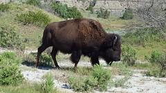 Big ol' bison in TRNP