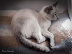 Ygritte (Mara Fernndez Photo) Tags: love cat photography kodak kitty calm gato gatita babycat fotografa gatunos pixpro gatobeb ygritte az521 bluepointrussian bluepointruso