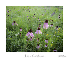 Purple Coneflower (baldwinm16) Tags: pink summer flower nature illinois midwest purple blossom native july il bloom coneflower wildflower prarie omot natureofthingsphotography