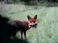 Breakfast. Explored. (Wildlife Terry Behind Again.) Tags: red summer english hunting fox shooting canoneos 2016 wheelockrailtrail wheelocksandbachcheshire countrysidepursuitspastimes cheshirewildlifeandnatureamateurphotography