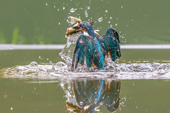 Kingfisher (John Ambler) Tags: male kingfisher fish bird orange blue water john ambler johnambler wildlife photographer photographs photos reflection ngg ngc
