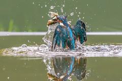 Kingfisher (John Ambler) Tags: male kingfisher fish bird orange blue water john ambler johnambler wildlife photographer photographs photos reflection ngg ngc