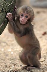 japanese macaque artis JN6A3949 (j.a.kok) Tags: artis macaque japanesemacaque makaak japansemakaak