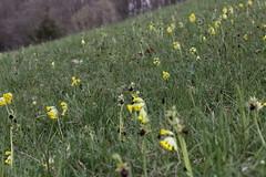 Early Spider Orchid - Ophrys sphegodes (Björn S...) Tags: orchid orchidee orchidée orquídea orchidea earlyspiderorchid ophryssphegodes spinnenragwurz ophrysaraignée ofrideverdebruna grosespinnenragwurz орхиде́я primerasorquídeasaraña