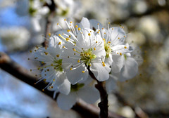 Blossom (Greengage maybe) (Arkensiel Photographs) Tags: flowers white yellow blossom bluesky damson greengage sbflowers2015