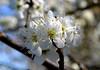 Blossom (Greengage maybe) (Arkensiel Photographs) Tags: flowers white yellow blossom bluesky damson greengage sbflowers2015