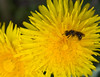 Dandelion (scuthography) Tags: yellow photo spring foto wasp ngc dandelion blowball 2015 hawkbit flickrglobal kathrinschild