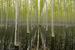 Popular Poplars (Curtis Gregory Perry) Tags: wood reflection tree green nature water oregon forest paper spring nikon poplar timber farm irrigation lumber d800e
