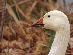 Snow Goose (My Long Lens) Tags: snow bird pennsylvania waterbird goose birdwatcher snowgeese