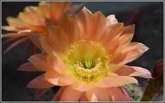 Hybrid Echinopsis Flower (tdlucas5000) Tags: flowers cactus sunlight flower macro closeup bokeh pollen blooms echinopsis