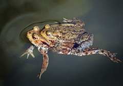 Toads, Astley Green, Lancashire, UK (Pitheadgear) Tags: nature water canal spring toads canals toad amphibians waterways pondlife astley astleygreen