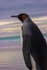 Into the Distance (Thom Gibbs) Tags: canon point eos rebel penguin islands kiss king wildlife volunteers thom volunteer distance malvinas falklands islas edit gibbs falklandislands t3i falkland reedit 2015 islasmalvinas 600d into wpoty kissx5 thomgibbs
