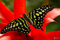 papillon tailed jay (gillouvannes56) Tags: light sun france macro colors animals canon butterfly french landscape soleil asia lumière couleurs bretagne 7d asie paysage animaux morbihan vannes insectes britany papillons faune