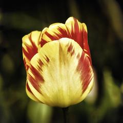 Spring Glow (Stephen Reed) Tags: flower fauna spring nikon tulip d7000 lightroom4 colorefexpro4