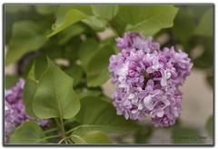 Lila (Otra@Mirada) Tags: flores verde rural hojas plantas paisaje lilas morado