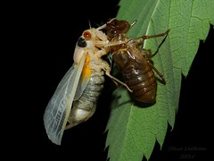 So it begins(4 of 5) (Urutu_From_SW_PA) Tags: cicada magicicada periodicalcicada magicicadaseptendecim 17yearperiodicalcicada
