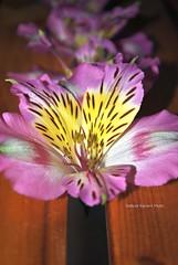 Astromelia (pasta frolla) Tags: rosa natura giallo fiori fiore giardinaggio astromelia