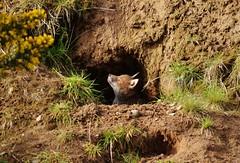 Drumchapel Wildlife (Michelle O'Connell Photography) Tags: morning nature animal cub scotland glasgow wildlife den young fox urbanwildlife redfox urbanfox vulpes europeanredfox europeanfox redfoxcub drumchapelwildlife michelleoconnellphotography