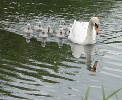 2015 05 23 020-1 KA Canal (Mark Baker, photoboxgallery.com/markbaker) Tags: uk england west bird english nature water birds canal photo spring swan europe european baker britain mark wildlife united great young may kingdom swans photograph gb british chicks berkshire kennetandavon avon newbury cygnets kennet 2015 picsmark