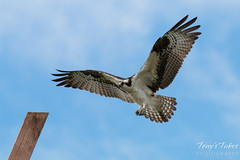 Male Osprey landing sequence - 2 of 13