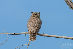 Great Horned Owl in the top