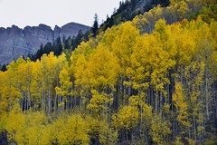Yellow Leaves of Aspen Trees in the Maroon Bells-Snowmass Wilderness (thor_mark ) Tags: trees mountains nature colorado unitedstates evergreen blueskies aspen day7 yellowleaves hillsides whiterivernationalforest maroonbellssnowmasswilderness project365 colorefexpro lookingsw elkmountains marooncreekvalley mountainsindistance sleepingsexton nikond800e mountainsoffindistance capturenx2edited hillsideoftrees marooncreektrail