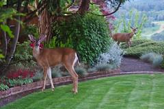 Dinnertime Guests (Vicki Dixon) Tags: deer