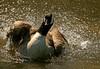Pharp... (RoystonVasey) Tags: park sculpture canada west bird canon eos hall bath zoom yorkshire goose usm 70300mm bretton ysp canadensis branta 400d