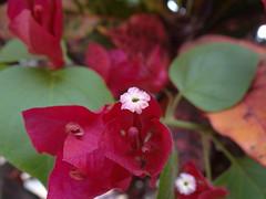 DSC04066 (familiapratta) Tags: flowers flores flower nature iso100 sony natureza flor hx100v dschx100v