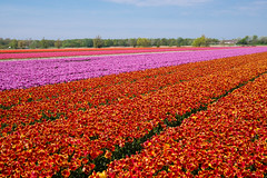 Tulips Fields in Holland (romanboed) Tags: leica flowers blue trees red sky orange holland netherlands dutch field yellow landscape countryside spring tulips farm violet sunny m agriculture 50 summilux 240