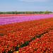 Tulips+Fields+in+Holland