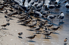 Red Knots, Dunlin and Laughing Gulls (Gerry McGee) Tags: dunlin laughinggull redknot rscapemay52016