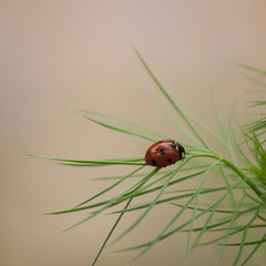 L'amie du jardinier -*---+ (Titole) Tags: ladybird ladybug coccinelle nigella nigelladamascena nigellededamas 15challengeswinner thechallengefactory titole nicolefaton