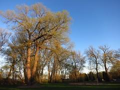 IMG_2124 Cottonwoods in spring (jgagnon63@yahoo.com) Tags: park trees usa spring michigan may veteranspark greenspace cottonwoods uppermichigan parktrees escanaba canons110 deltacountymi