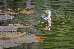 Little Pied Cormorant in lily pond. (anthonyt1120) Tags: autumn green bird wet water yellow lily little pad australia brisbane cormorant pied