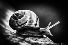 BW Snail (christian.grelard) Tags: blackandwhite bw macro monochrome animal canon eos noiretblanc snail sigma nb escargot 105mm 700d canonfrance