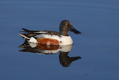 Shoveler (cooky1959) Tags: ducks warren worcestershire shoveler upton uptonwarren