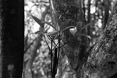 Branch (klolam) Tags: wood light blackandwhite plant tree texture film nature monochrome leaves contrast 35mm outdoors hongkong lomography pentax hike analogue pentaxmesuper hongkongisland braemarhill